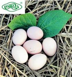 巴根草牌  林间散养   无公害   生态土鸡初产蛋   60枚珍珠棉装