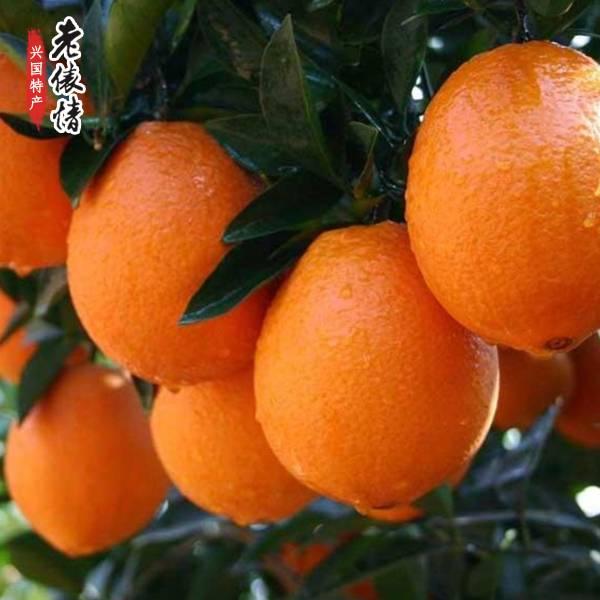 【预售】江西兴国特产正宗赣南脐橙现摘5斤装包邮 新鲜水果 香甜多汁 将于11月16日发货