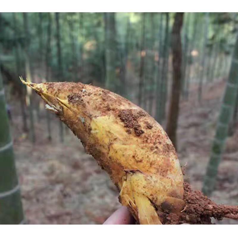 【限时秒杀】宁都特产 大土楼村 新鲜野生冬笋2斤
