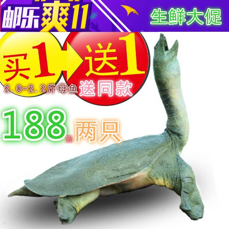 [买一送一送同款]怀远白莲坡生态甲鱼自然生长4年以上2.2-2.2母鱼团鱼水鱼中华鳖鲜活极速快递包邮